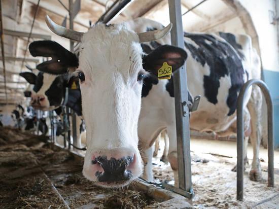 После вмешательства Путина прокуратура извинилась перед фермером, купившим GPS-ошейник корове