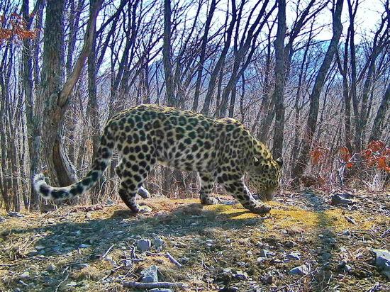 Более 600 имен придумали для дальневосточного леопарда в Приморье