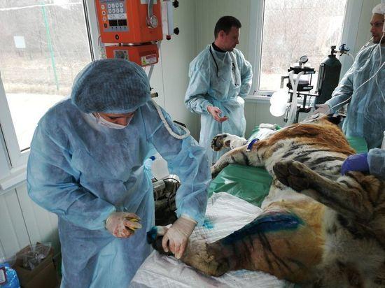 Тигрицу пытаются спасти в Приморье