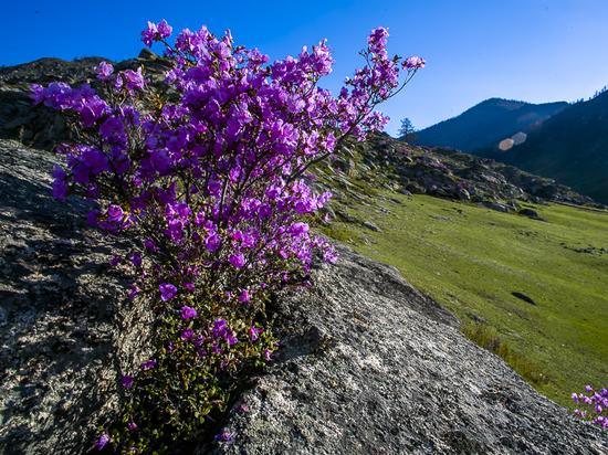 В Алтайском крае массово отметят праздник «Цветение маральника»