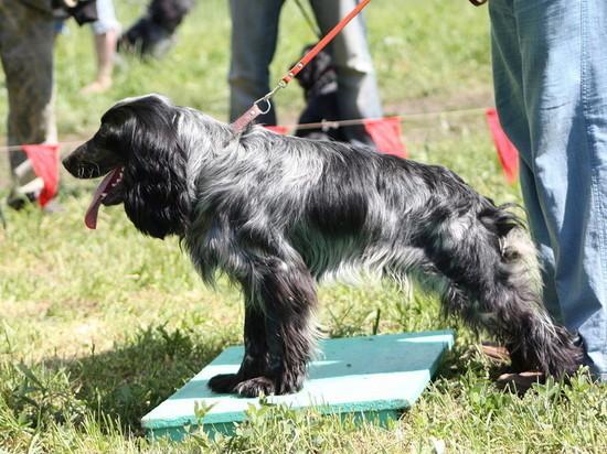 В Тамбове выберут лучших собак среди легавых и спаниелей