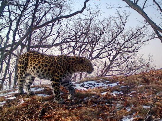 В Приморье имя самке леопарда дали пользователи соцсетей