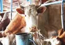 В Бурятии надои «пиара» растут, а парного молока – падают