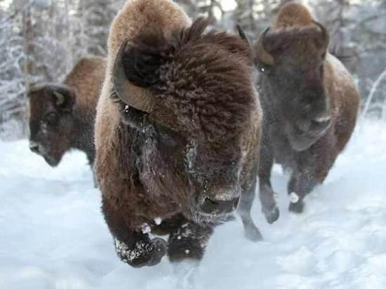 В Якутии выпустят лесных бизонов