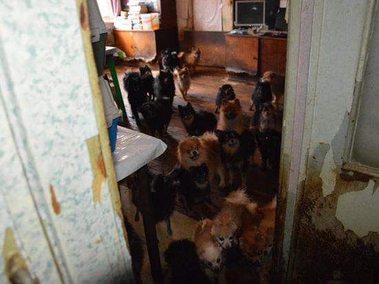 Приставы забрали сотню шпицев у тюменской собачницы