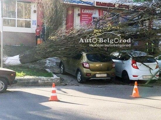 Дерево упало на авто в Белгороде