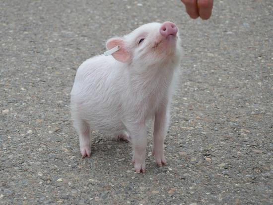 Свиная голова 36 часов прожила без тела