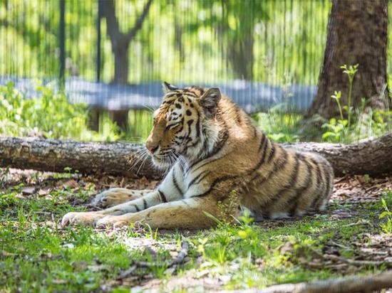 Спасти раненую тигрицу не удалось