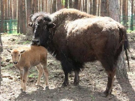В воронежском зоопитомнике в семье бизонов родился третий детеныш