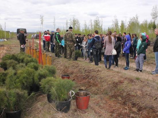 На выгоревшем участке леса в Заволжье высажено 12 тысяч сосен