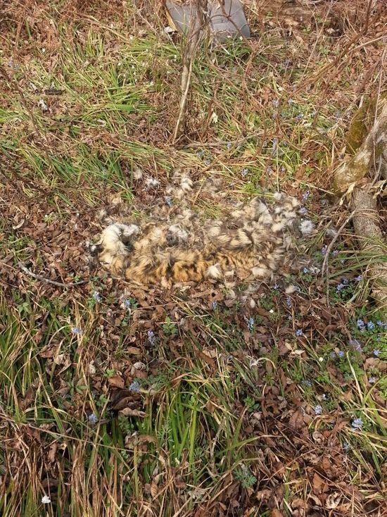 В Уссурийск направили обнаруженные останки тигрят