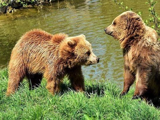 Медведи терроризируют жителей Мурманской области