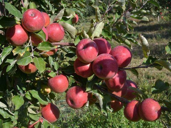 Казахстан - родина яблок, причем всех, что есть на земле