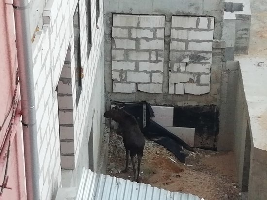 В Туле «обезвредили» лося, застрявшего между этажами строящегося ТЦ
