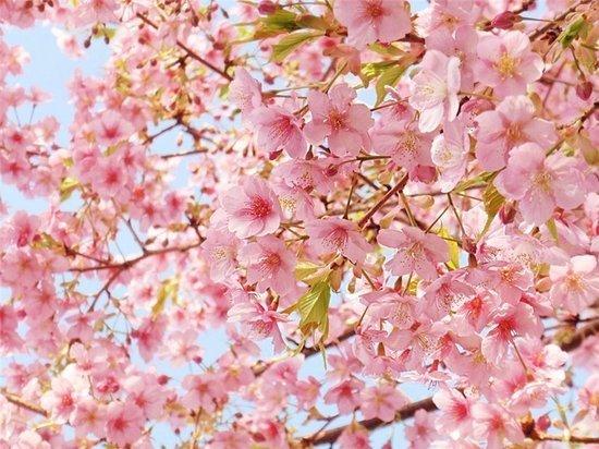 Праздник «Когда цветет сакура» прошел в Ботаническом саду ИГУ
