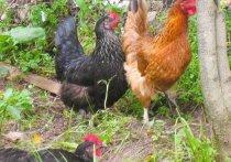 Как решают проблему с птичьим гриппом в Приморье