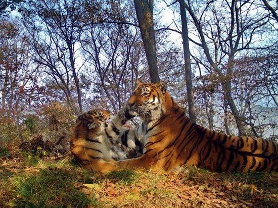 Приморских тигров выпустят на свободу в ЕАО