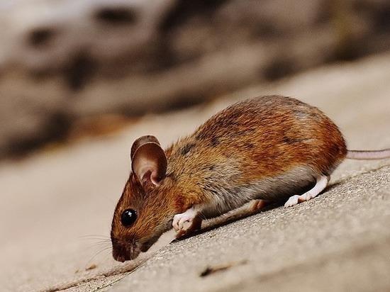 Мыши помогли по-новому взглянуть на популярнейшую моральную дилемму