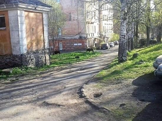 Ушли спать: Минприроды и полиция разыскивают в Петрозаводске кабанов