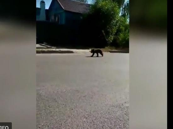 На астраханских улицах прогуливается медвежонок