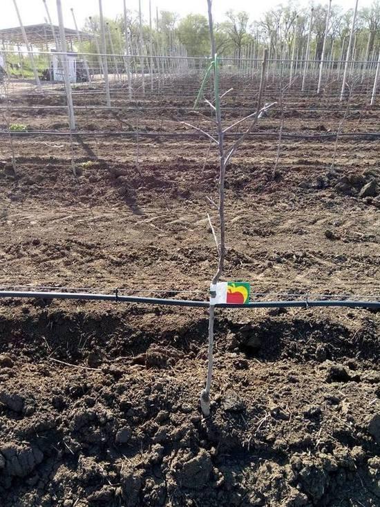 50 га суперинтенсивных яблоневых садов посадили изобильненцы