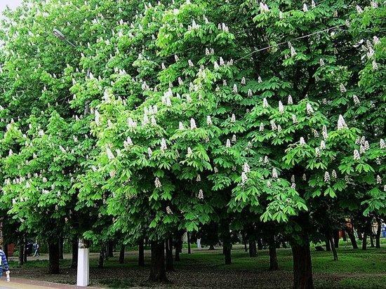 Новый парк из каштанов в Тверской области ждёт своё название