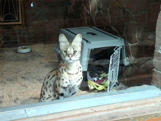 В Воронежском зоопарке поселился сервал - дикий кот