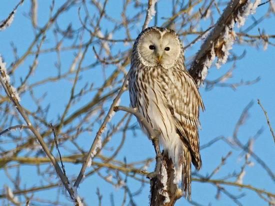 В Самарской области увеличилась популяция хищных птиц