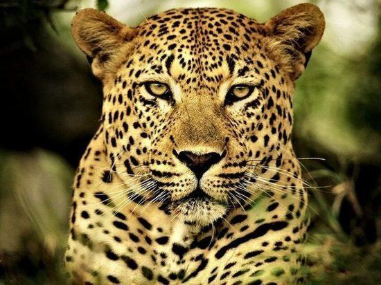 Искитимец намеревался незаконно вывезти питонов и леопардов в Казахстан