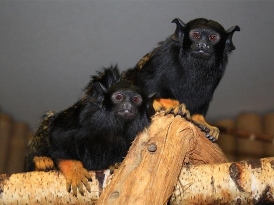 У трех семей мелких обезьянок родились двойни