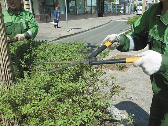 Городские кустарники готовят к лету