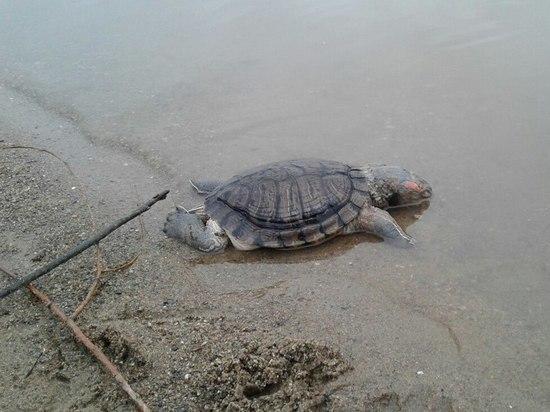 В водах Оби погибла американская красноухая черепаха