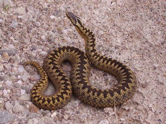 Шесть человек пострадали от укусов ядовитых змей в Чувашии