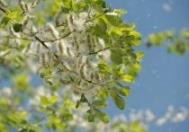 Внимание, аллергики: тополиный пух появился в Москве раньше времени