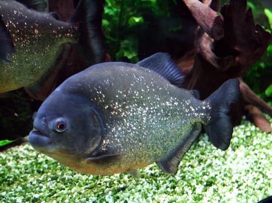 Плотоядные рыбки — это модно, но очень ответственно