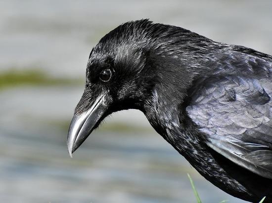 Ворона заклевала московскую пенсионерку, которая шла в парикмахерскую