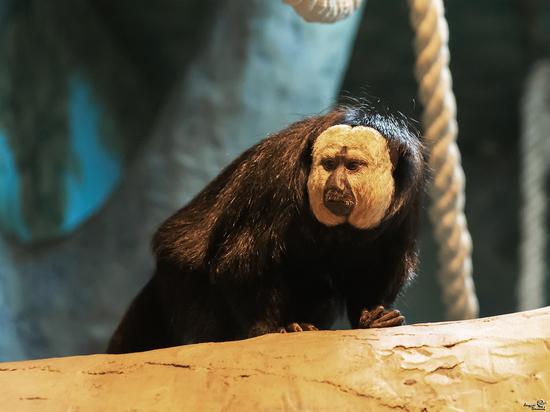 Пара необычных белолицых саки будет жить в Новосибирском зоопарке