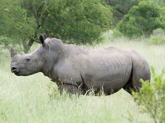 Крупнейших носорогов в мире решили клонировать, чтобы они не исчезли