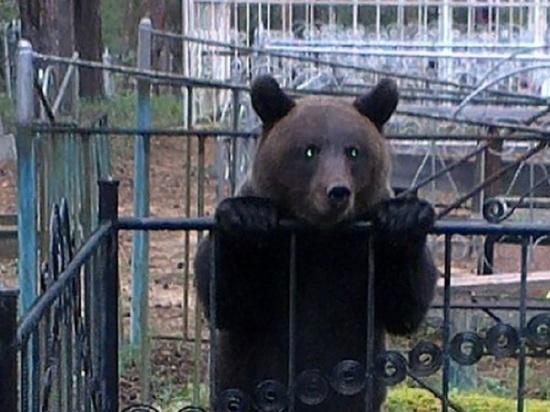 Чиновница северодвинской мэрии попросила горожан не кормить медведя