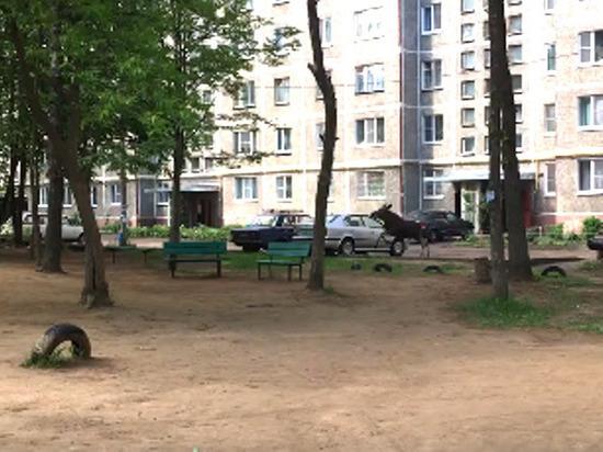 По дворам в Костроме промчался лось