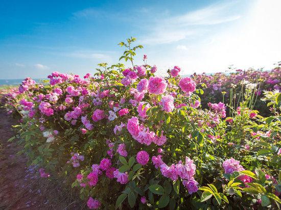 Крыму обещают тонны розовой воды: для красоты и здоровья