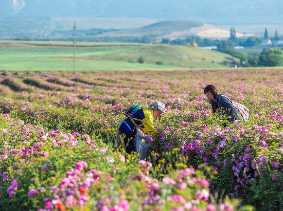 «Крымская роза» соберет урожай лепестков на месяц раньше
