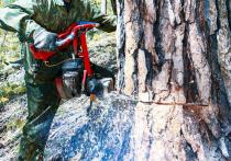 В Бурятии «черные лесорубы»  орудуют в промышленных масштабах