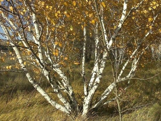 Клонированное дерево в республиканских лабораториях появилось на 6 лет раньше знаменитой овечки Долли