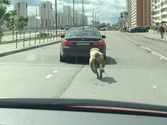 Водитель «БМВ» объяснил, зачем привязал собаку к кузову авто