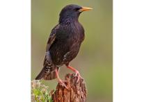 Определитель московских птиц: от дрозда до зеленой пересмешки