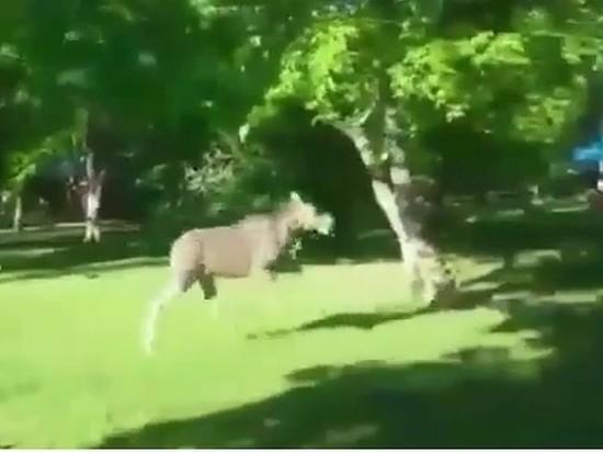 По Загородному парку в Самаре бегал лось