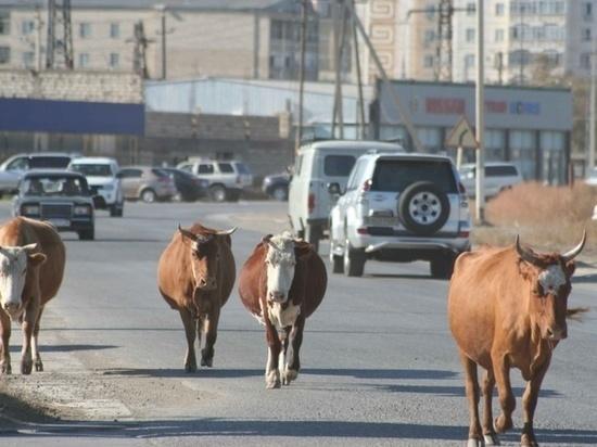 В Астраханской области начинается слежка за рогатыми