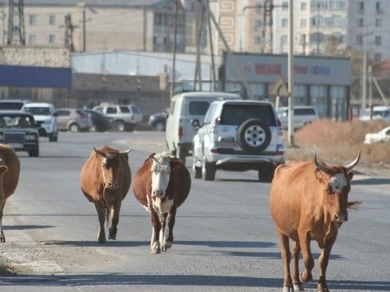 Коровы вне закона