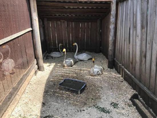 Прокуратура расследует факт попадения лебедей в мазут в Алтайском крае